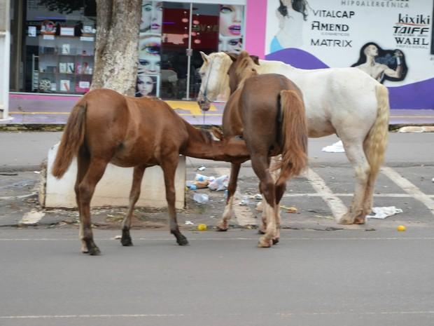 Animais no centro de Cacoal; RO. Um cavalo, uma égua e um potro. (Foto: Rogério Aderbal/G1)