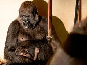 Gorila Imbi e seu filhote, no Zoológico de BH (Foto: Herlandes Tinoco / Prefeitura de Belo Horizonte)