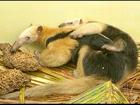 Após mais de 24h dentro de piscina, tamanduás são devolvidos à natureza