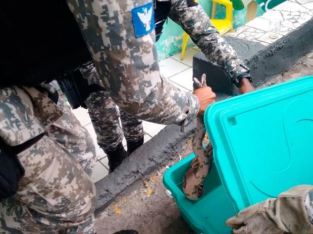 Sucuri de mais de dois metros é achada em tanque de residência (Foto: Divulgação/Guarda Municipal)