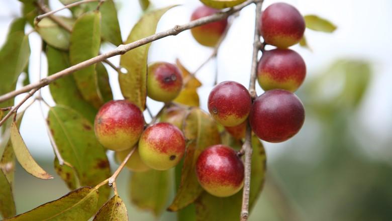 agricultura_camu_camu_fruta (Foto: Fernanda Bernardino/Ed. Globo)