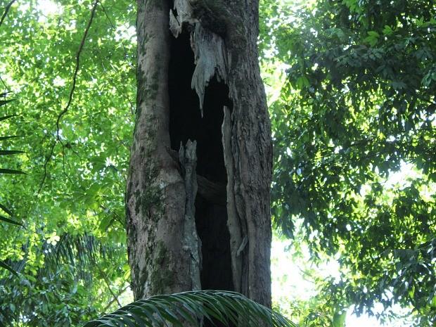 Pesquisador Carlos Bueno estima que metade do tronco esteja oco (Foto: Girlene Medeiros/G1 AM)