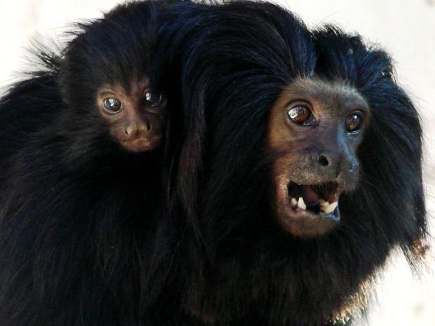 Filhote de mico-leão-preto é o novo morador no Parque Municipal de São Carlos (Foto: Pérsio Ronaldo dos Santos)