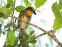 Fêmea do capitão-de-fronte-dourada se diferencia pela plumagem rajada