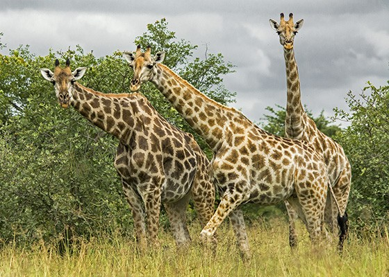 Um grupo de girafas na beira da estrada (Foto: © Haroldo Castro/Época)
