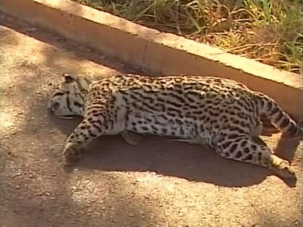 Jaguatirica atropelada morta BR-365 Ituiutaba (Foto: Reprodução/TV Integração)