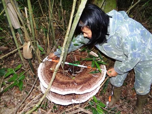 Cogumelo gigante é encontrado no interior de Itaiópolis (Foto: Germano Woehl Junior/Divulgação)