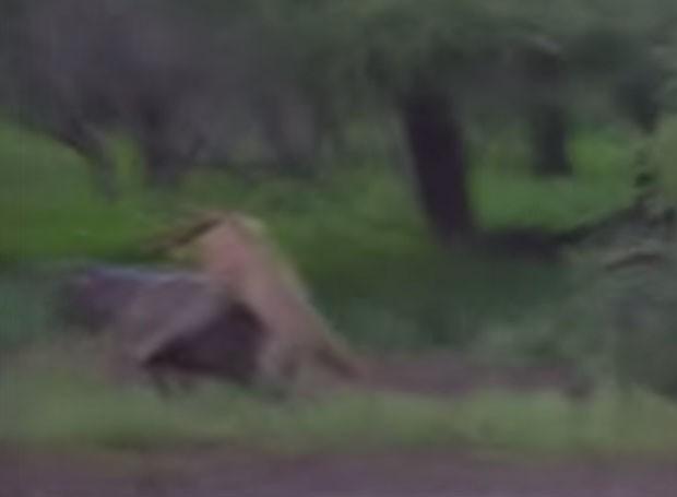 Leoas esperaram distração da mãe para atacar filhote de hipopótamo (Foto: Reprodução/YouTube/Action Photography)