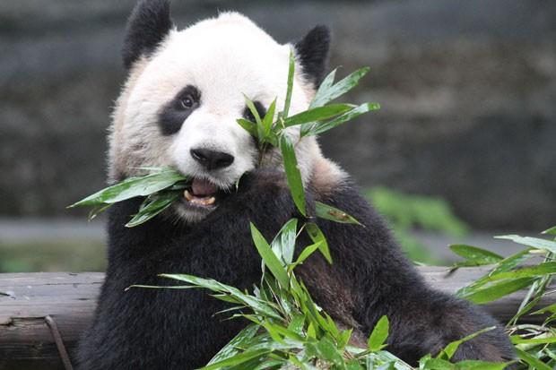 Pandas têm 'quedinha' por açúcar, apontam cientistas