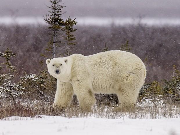 Eles são extremamente agressivos, pesam 600 quilos e medem cerca de três metros de altura (Foto: Gshow)