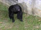 Chimpanzé argentina ganha habeas corpus e vai para santuário no Brasil