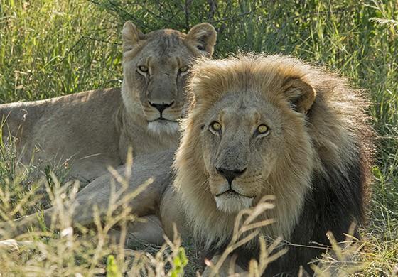 Um casal de leões na reserva do projeto Proteção aos Predadores (Foto: © Haroldo Castro/ÉPOCA)