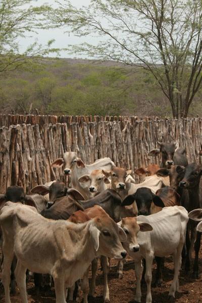 Rebanho das fazendas está magro por causa da estiagem no RN (Foto: Rafael Barbosa/G1)