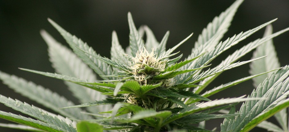Cannabis; maconha (Foto: Flickr/Martijn/Creative Commons)
