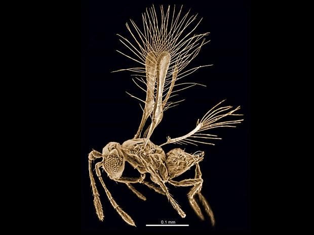 Descoberta na Costa Rica, essa nova vespa parasitoide teve seu nome - Tinkerbella nana - inspirado na personagem que acompanha Peter Pan, Tinkerbell (ou Sininho) (Foto: Jennifer Read/BBC)
