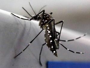 Mosquito Aedes aegypti é visto no laboratório Oxitec em Campinas (SP) (Foto: Paulo Whitaker/Reuters)
