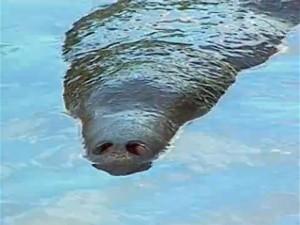 Outro peixe-boi morre na Paraíba (Foto: Reprodução/TV Cabo Branco)