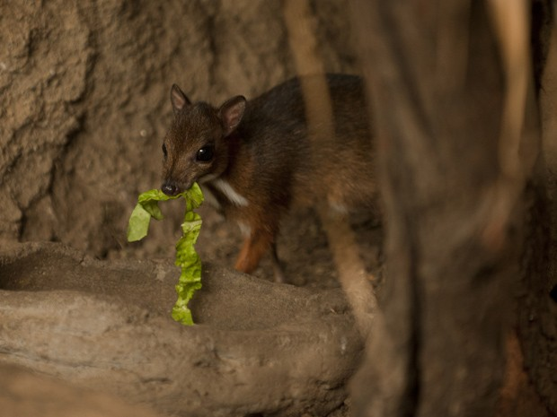 Filhote de veado-rato de Java nasceu em 9 de abril em parque espanhol  (Fot AFP Photo/Jorge Guerrero)