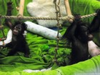 Foto mostra orangotangos bebês gêmeos em zoológico de Hong Kong