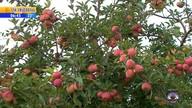 Colheita de maçã abre vagas de trabalho em Vacaria