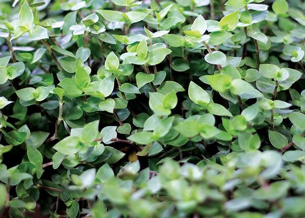 plantas para jardim meia sombra:Miniaturas infalíveis – Casa e Jardim