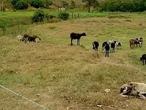 Carneiros e cabritos são atacados por onça no Espírito Santo (Foto: Reprodução/ TV Gazeta)