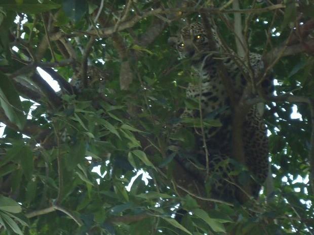 Onças-pintadas estavam em árvore, no quintal de uma residência (Foto: Weberson Sousa/ Arquivo Pessoal)