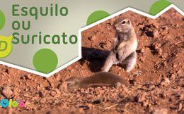 Esquilo ou Suricato