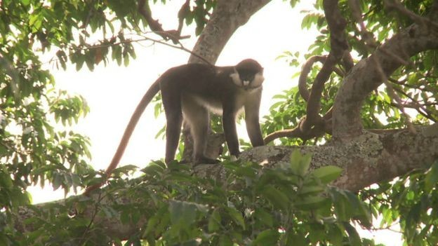 Enquanto testavam macacos rhesus na floresta, cientistas se depararam com um novo microrganismo, que batizaram de zika  (Foto: BBC)
