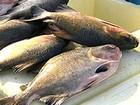 Pesca e venda do tambaqui serão proibidas a partir desta quinta-feira