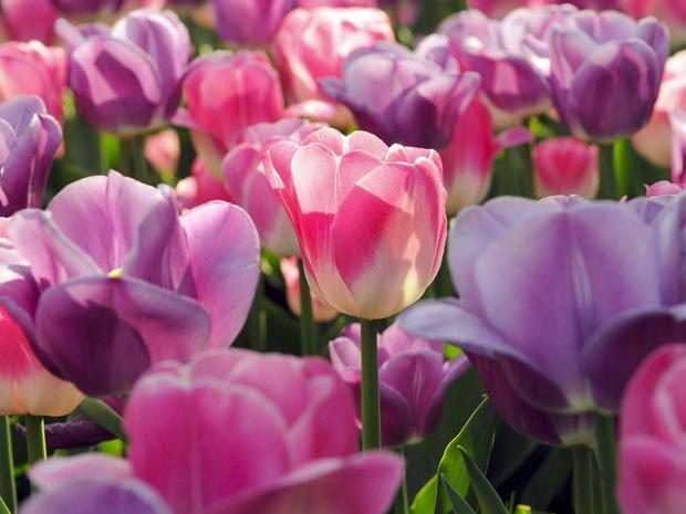 Keukenhof, o parque das tulipas da Holanda (Foto: Divulgação/Keukenhof)