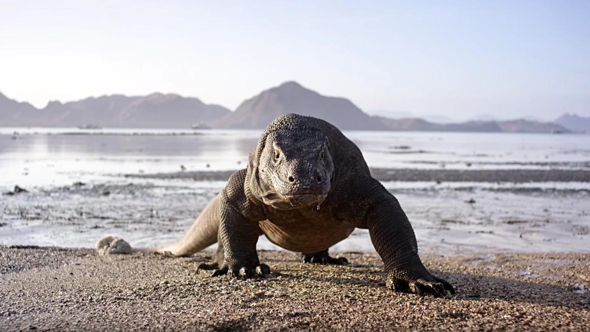 Dragão de Komodo (Foto: Divulgação)