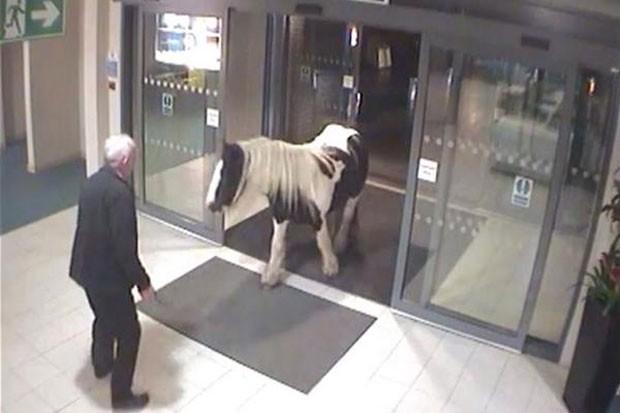 Cavalo invadiu delegacia de polícia de Cheshire, na Inglaterra (Foto: Reprodução/YouTube/NewsVideos365)