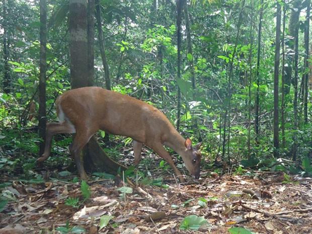 Veado-capoeira, espécie ainda pouco pesquisada e que vive na Amazônia. (Foto: Divulgação/Projeto Iauaretê/Instituto Mamirauá)