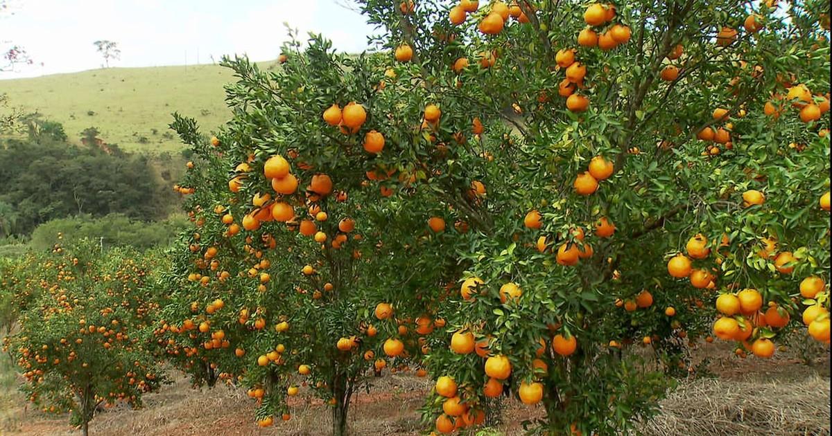 Resultado de imagem para Minas Gerais é o segundo maior produtor de tangerina ponkan