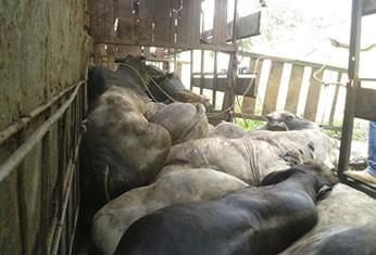 Alguns animais firacam presos no veículo e outros morreram. (Foto: Daniela Barros)