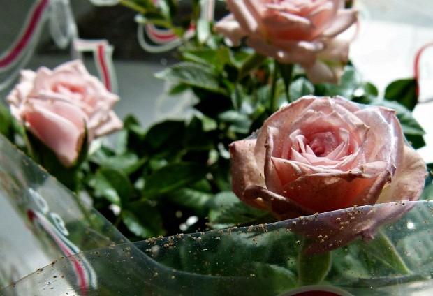 Controle biológico permite eliminar fungos de flores (Foto: Arquivo APTA)