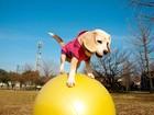 Cadela bate recorde ao percorrer 10 m se equilibrando em bola de pilates