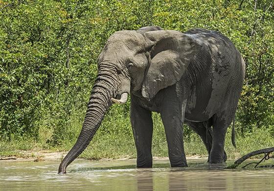 Um elefante aproveita a lagoa formada pela chuva para beber água  (Foto: © Haroldo Castro/ÉPOCA)