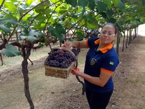 Colheira de uva em Vinhedo (Sp) (Foto: Matheus Filippi/G1)