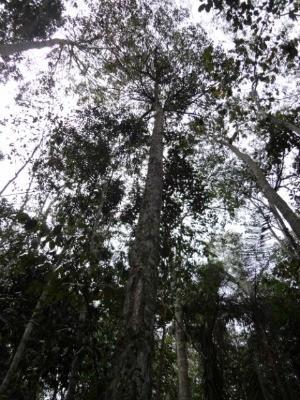 Pindaíba-preta, a Ephedranthus dimerus, é uma recente descoberta de cientistas na Reserva Natural da Vale. (Foto: Geovane Siqueira/Divulgação Vale)