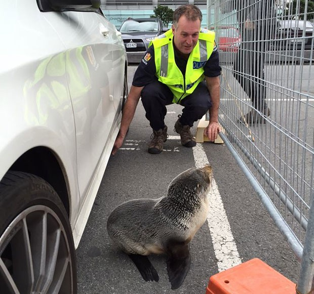 Policial posa ao lado de filhote de foca encontrado no estacionamento de Queens Whard, em Wellington, na Nova Zelândia, na sexta (12) (Foto: Reprodução/Facebook/Wellington Police Department )