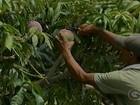 Demissões na agricultura preocupam produtores rurais de Petrolina, PE