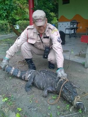 Jacaré foi recolhido e levado ao Sauim Castanheiras (Foto: Divulgação/Corpo de Bombeiros)
