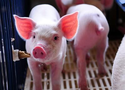 criacao_suinos_porco (Foto: Ernesto Souza / Ed. Globo)