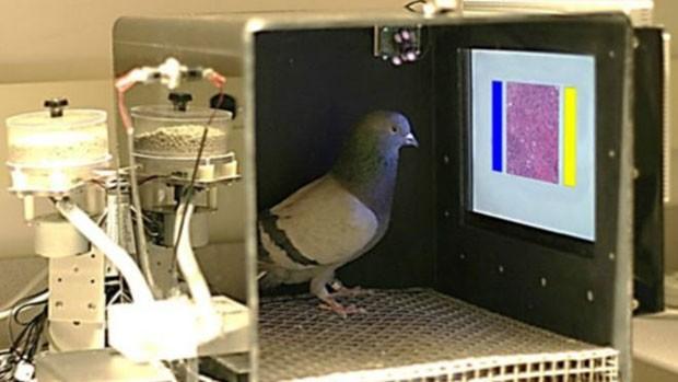 Pombos podem ser treinados para detectar câncer de mama por meio de imagens  (Foto: Univ. IowaWassermann Lab)