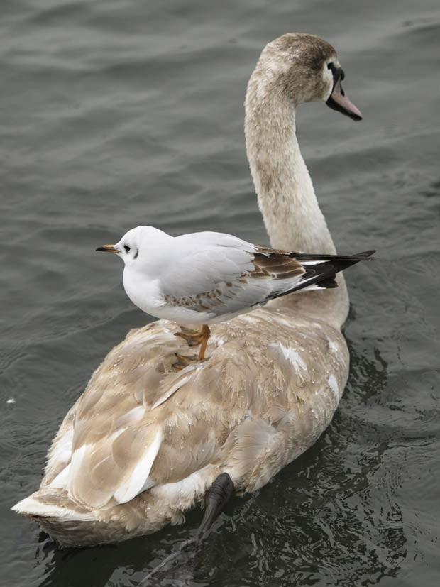 m janeiro de 2011, uma gaivota foi flagrada no lago de Zurichsee, em Zurique, na Suíça, desfrutando de um passeio sobre um cisne (Foto: Steffen Schmidt/AP)