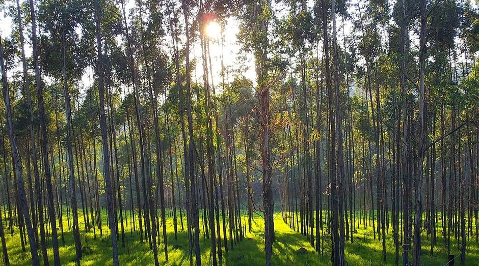 Plantação de eucaliptos (Foto: Wikimedia Commons)