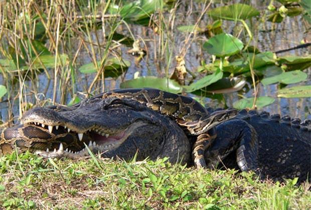Píton e aligátor (jacaré americano) foram flagrados em combate mortal em 2009 no Parque Nacional Everglades, na Flórida (EUA) (Foto: Lori Oberhofer/National Park Service/AP)