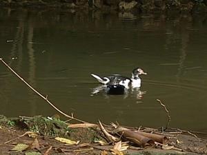 Patos também passarão por controle populacional  (Foto: Reprodução/TV Integração)